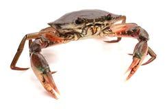 Crab. Edible brown crab. Crustacean, food stock photography
