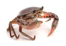 Crab. Edible brown crab. Crustacean, food stock images