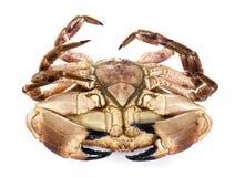 Edible brown crab Stock Photo