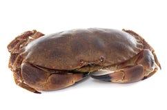 Edible brown crab Royalty Free Stock Photos
