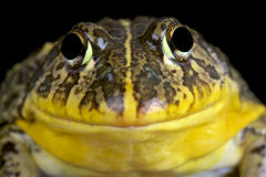Edible bullfrog (Pyxicephalus edulis) Royalty Free Stock Photography