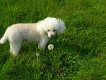 Is It Edible?. Charlie our toy poodle in the English Countrside Stock Photo