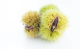Edible chestnuts, Castanea sativa royalty free stock photography