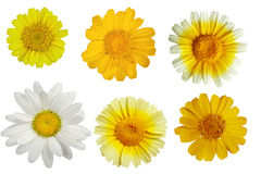 Edible Chrysanthemumset, Stock Photo