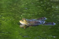 Edible or common water frog Stock Image