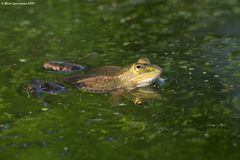 Edible or common water frog Stock Photo