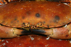 Edible Crab 01 Stock Photos