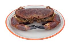 Edible crab. Masera, buey de mar, Edible crab (cancer pagurus royalty free stock images