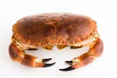Edible crab / Cancer pagurus. Edible crab isolated / cancer pagurus Stock Image