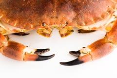 Edible crab/Cancer pagurus. Edible crab isolated close up Stock Photos