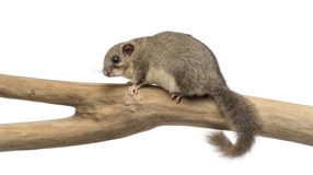 Edible dormouse on a branch Royalty Free Stock Images