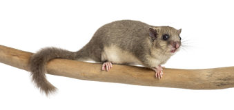 Edible dormouse on a branch. In front of a white background Royalty Free Stock Image