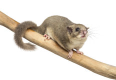Edible dormouse on a branch. In front of a white background Stock Photos