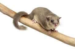 Edible dormouse on a branch. In front of a white background Stock Photography