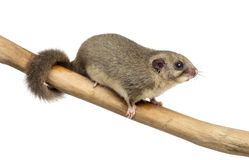 Edible dormouse on a branch. In front of a white background Royalty Free Stock Photo