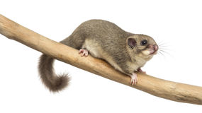 Edible dormouse on a branch. In front of a white background Royalty Free Stock Images