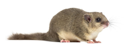 Edible dormouse. In front of a white background Royalty Free Stock Photos