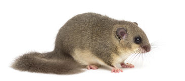 Edible dormouse. In front of a white background Royalty Free Stock Image