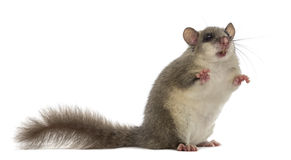 Edible dormouse. In front of a white background Royalty Free Stock Photography