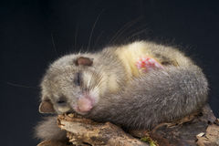 Edible dormouse / Glis glis Stock Photo