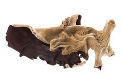 Edible Dried Fungi Macro Royalty Free Stock Image