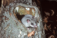 Edible or Fat dormouse, Glis glis. Single mammal on branch Stock Images