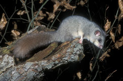 Edible or Fat dormouse, Glis glis. Single mammal on branch Royalty Free Stock Image