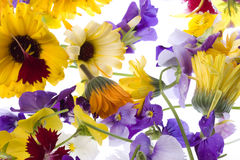 Edible Flowers Isolated. Isolated macro image of edible flowers Stock Images