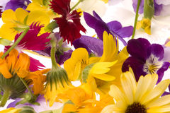 Edible Flowers Isolated. Isolated macro image of edible flowers Royalty Free Stock Photo