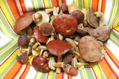 Edible forest mushrooms real photo Stock Image