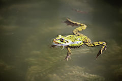 Edible Frog Royalty Free Stock Photography