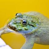 Edible frog Royalty Free Stock Photos