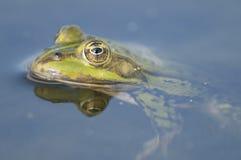 Edible frog Stock Photography