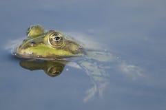 Edible frog Royalty Free Stock Photo