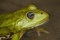 Edible frog Stock Photos