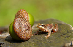 Edible Frog on acorn Stock Images