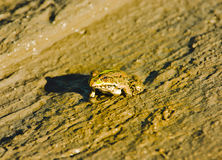 Edible frog ashore. Edible frog sits ashore during outflow Royalty Free Stock Photo