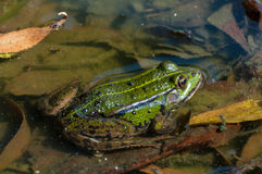 Edible frog. Green Edible frog - common water frog (Rana esculenta, Pelophylax esculentus royalty free stock photo