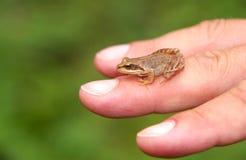 Edible Frog on hand Stock Photo
