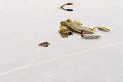 Edible frog. Frog his vocal sacs in water surface Stock Images