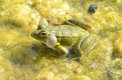 Edible Frog Royalty Free Stock Photo