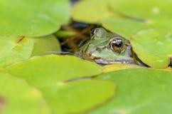 Edible frog Stock Image