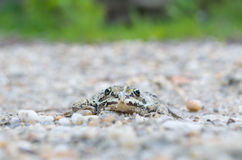 Edible Frog on Pebbles Front View Royalty Free Stock Image