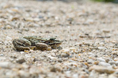 Edible Frog on Pebbles Side View Royalty Free Stock Photo