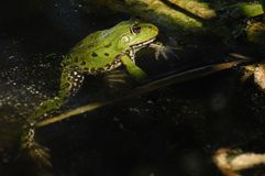 Edible Frog (Pelophylax esculentus) Royalty Free Stock Images