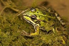 Edible Frog (Pelophylax esculentus) Royalty Free Stock Photos