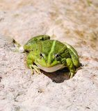 Edible frog (Pelophylax esculentus) or green frog Stock Image
