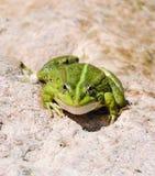 Edible frog (Pelophylax esculentus) or green frog Stock Image