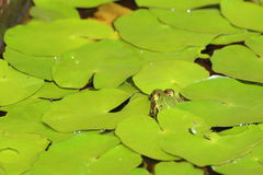 Edible frog (Pelophylax esculentus) hiding under water lily leaves Stock Photography