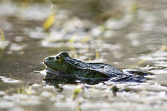 Edible frog (Pelophylax esculentus) Royalty Free Stock Photography